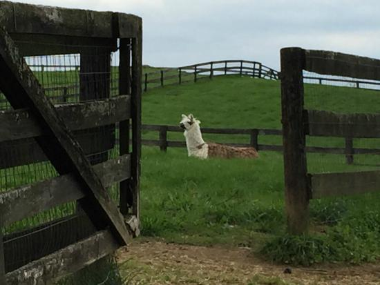 Goodstone Inn & Restaurant : Grayson the guard llama
