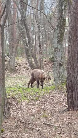 Kurobe Kanko Hotel: A animal in the wood that look like a boar but is a type of deer there.