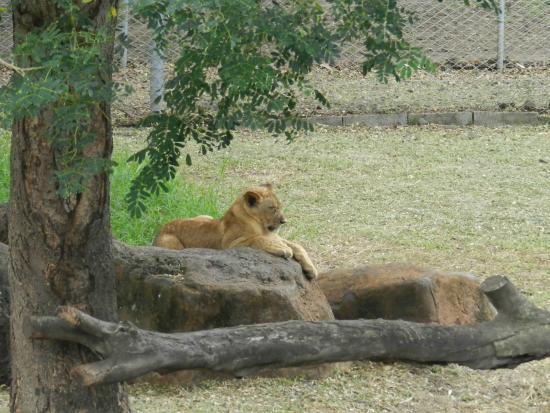 votre assurance lion picture of safari adventures lion encounter cascavelle tripadvisor. Black Bedroom Furniture Sets. Home Design Ideas