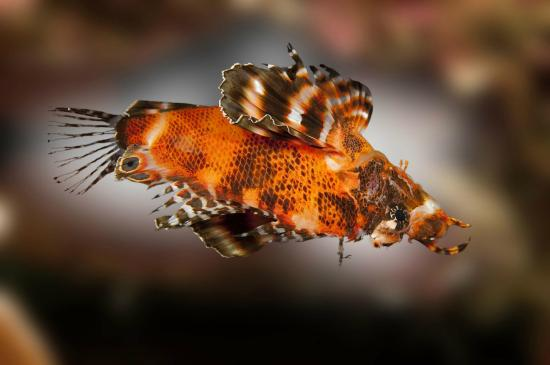Palau Pacific Resort: A rare twin spotted lion fish encountered at the German Channel