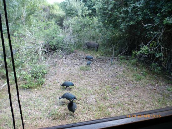 Jacana Lodge: Warthog and guinea fowl outside lodge 2 kitchen