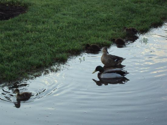 Pine Mountain RV Park by the Creek: If there's water, there's ducks!