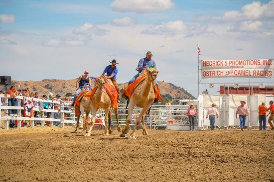 Nevada: International Camel Races, Virginia City