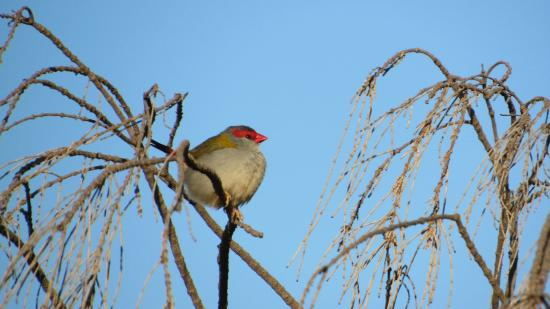 You Yangs Regional Park: Red-Browed Finch