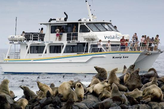 Cowes, Austrália: Seal Watching Cruise - up close and personal at Seal Rocks!