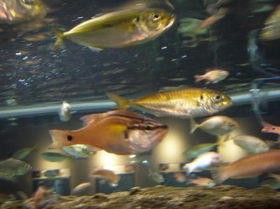 Shinjiko Nature Museum Gobius: 生簀(いけす)ではありません。