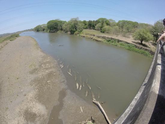 PorLa Mar: 45 Crocos sont présent sous ce pont !