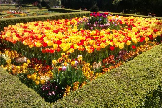 A Vibrant Display Of Yellow And Red Tulips Picture Of