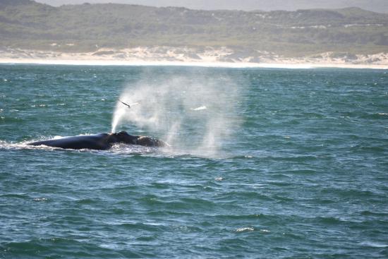Hermanus, جنوب أفريقيا: Lo sbuffo della balena