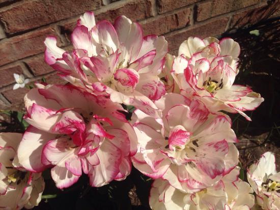 Veldheer Tulip Garden: photo1.jpg