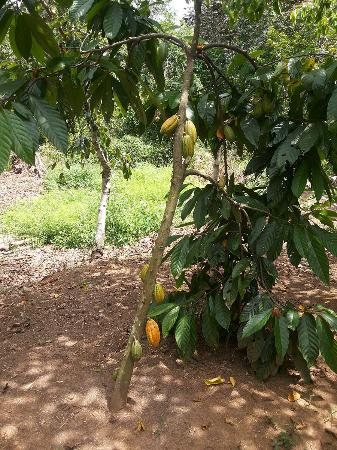 Rancho Raices de Osa: Cacao tree and pods