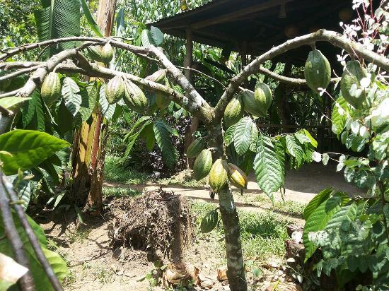 Rancho Raices de Osa: Cacao Pods