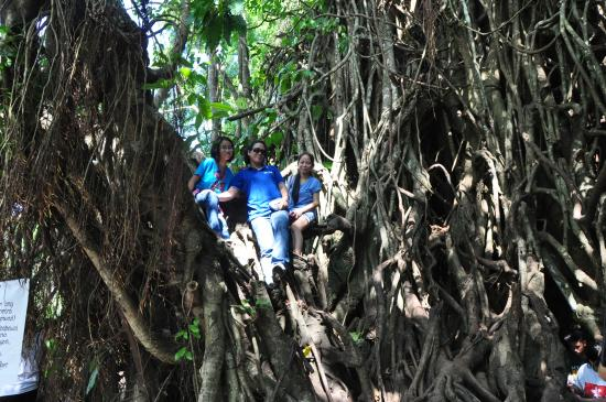 Millennium Tree (Balete tree)