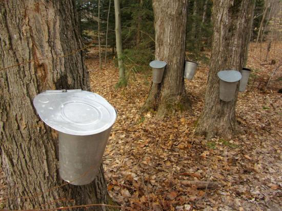 Angus, Canada: Traditional syrup gathering