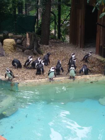 Pinguini Foto Di Giardino Zoologico Di Pistoia Pistoia