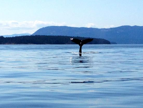Gulf Island Safari: This is the tale of a humpback whale, loved seeing orcas, eagles too!
