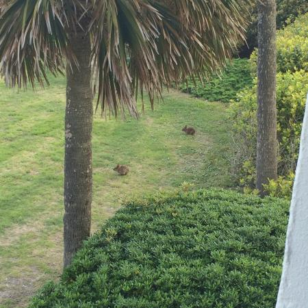 Surf Suites Motel: bunnies eating on the lawn outside our balcony