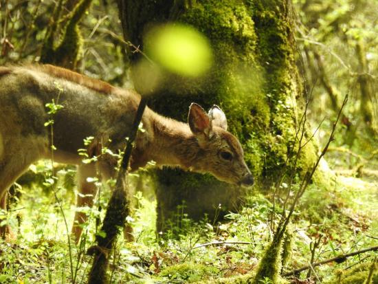 แคลกามัส, ออริกอน: Young Deer Grazes - Ridge Trail Mt. Talbert - photo by James Schumacher