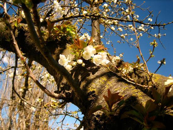 Camping Intercommunal le Brégoux : En face de notre emplacement un cerisier en fleur