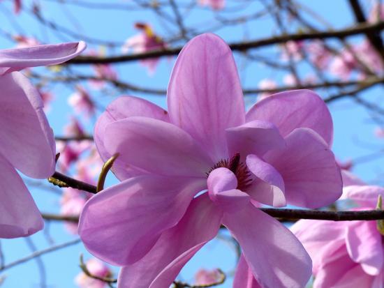Crarae Garden Argyll: Magnolias were everywhere