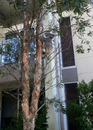 RACV Noosa Resort: Koala in a tree outside our apartment