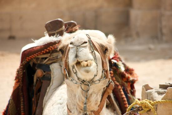 Ayman Ahmed - Tour Guide: Camel at pyramids