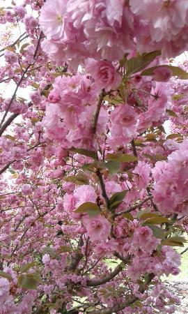 Relais Gli Ulivi: fioritura ciliegio