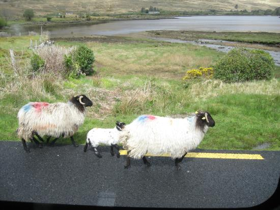 The Sheep and Wool Centre: These sheep were leaving Leenane as we arrived.