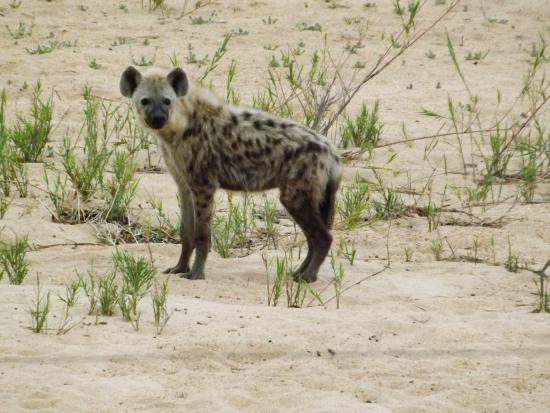 Tamboti Satellite Camp: Hyène
