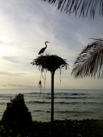 Off The Wall Dive Center & Resort : Heron resting on top of our Osprey Nest