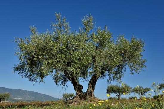 Un olivier centenaire du domaine photo de moulin fortune arizzi les m es - Comment entretenir un olivier arbre ...