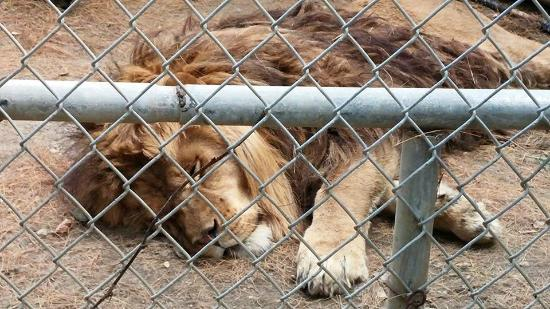 Mount Vernon, ME: A majestic lion, reduced to a dirt prison and matted mane.
