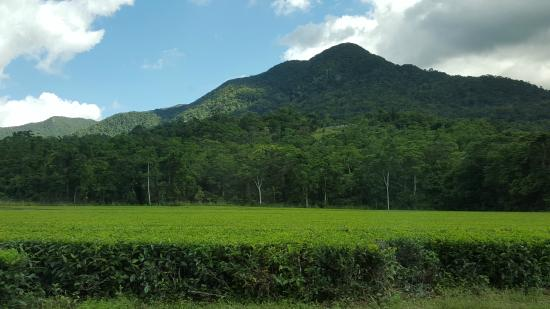 Daintree Rainforest Tea Plantation - Photo de Tony\'s Tropical Tours ...