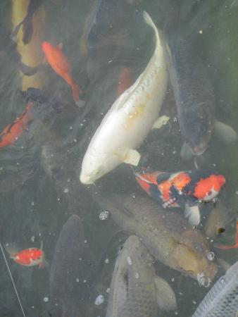 The koi fish picture of merrivale model village great for How much does a koi fish cost