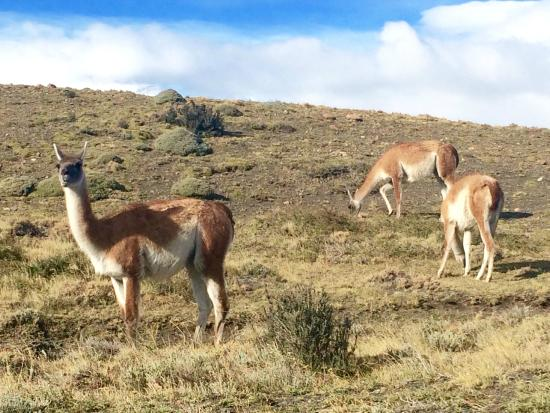Torres del Paine National Park: Guanacos!