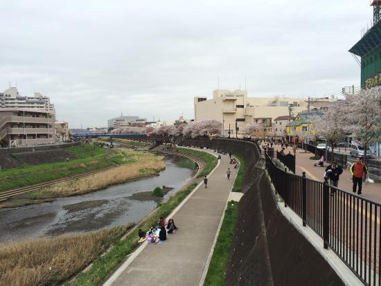 Cherry Blossum along Kashio River