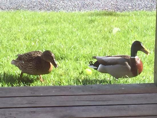 The Bistro: Morning visit from ducks