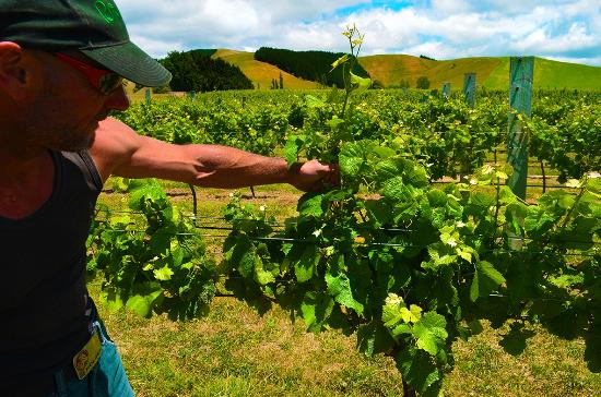 Wairarapa, Neuseeland: Chris the Murdoch James Vine whisperer