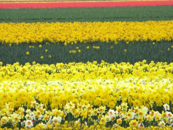 keukenhof fields of color - Fields Of Color