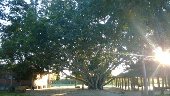 Chaiya, Thailandia: The surprisingly young tree between the meditation halls.