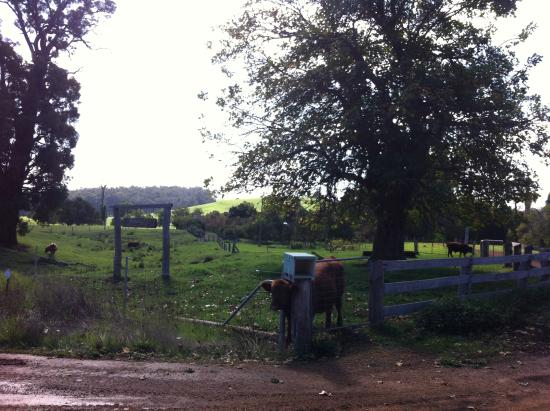 Nannup Hideaway Spa Cottages & Retreats: stupid cow stuck in fence