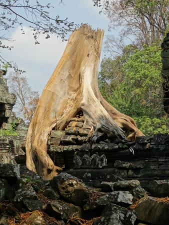 Nicky Angkor Day Tours : Jungle versus Temple