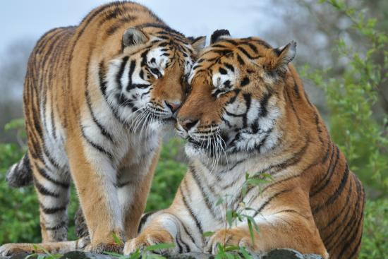 Broxbourne, UK: All 5 Big Cats
