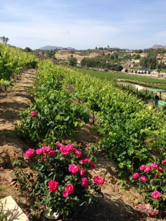 SpringHill Suites Temecula Valley Wine Country: Oak Valley vineyard