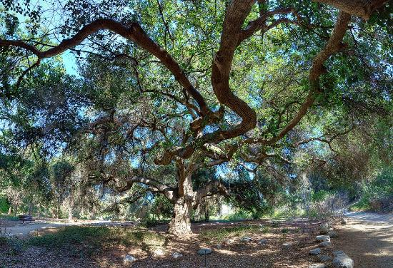 Incroyable Rancho Santa Ana Botanic Garden: The Majestic Oak