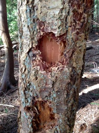 Heritage Forest: Woodpeckers were here