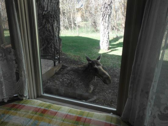 Bentwood Inn: Moose - May 2, 2015