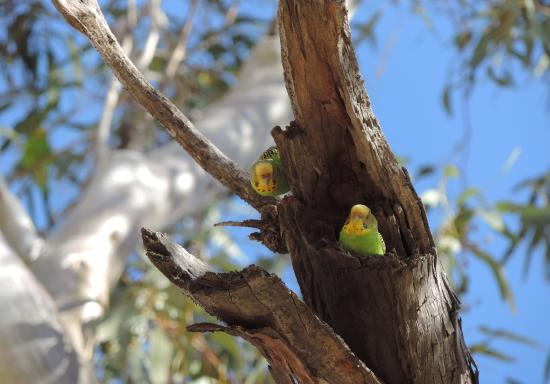 Glen Helen Gorge: nesting budgies 2014