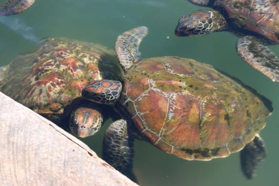 Swimming with Turtles: Turtles