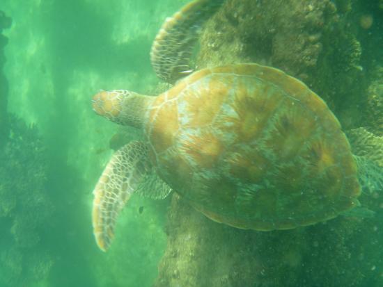 Adventure Moreton Island: Turtle at snorcheling tour